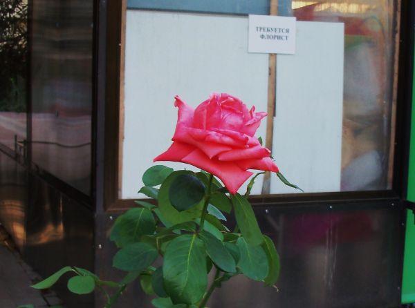Карикатура: Одинокой распущенной розе требуется хороший флорист..., Владимир Масалов