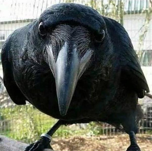 Мем: Орнитолог обалдел, когда  окольцованная  им ворона сказала: - Я согласна!