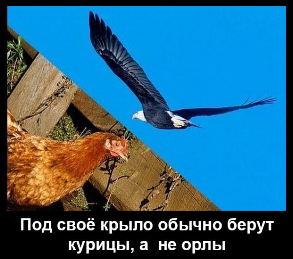 Мем: Под своё крыло обычно берут курицы, а не орлы