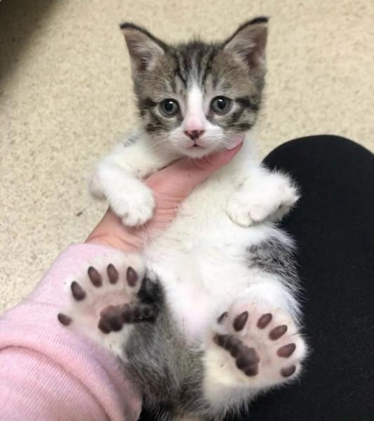 Мем: Уникальный котей с шестью пальцами на лапах, Andrews