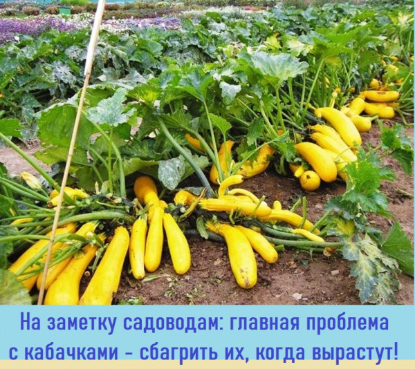 Мем: Нашим садоводам., CAHTAHA