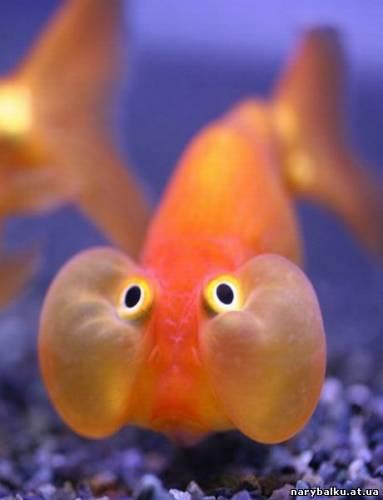 Карикатура: Рыба хомяк, КлевыйКарп